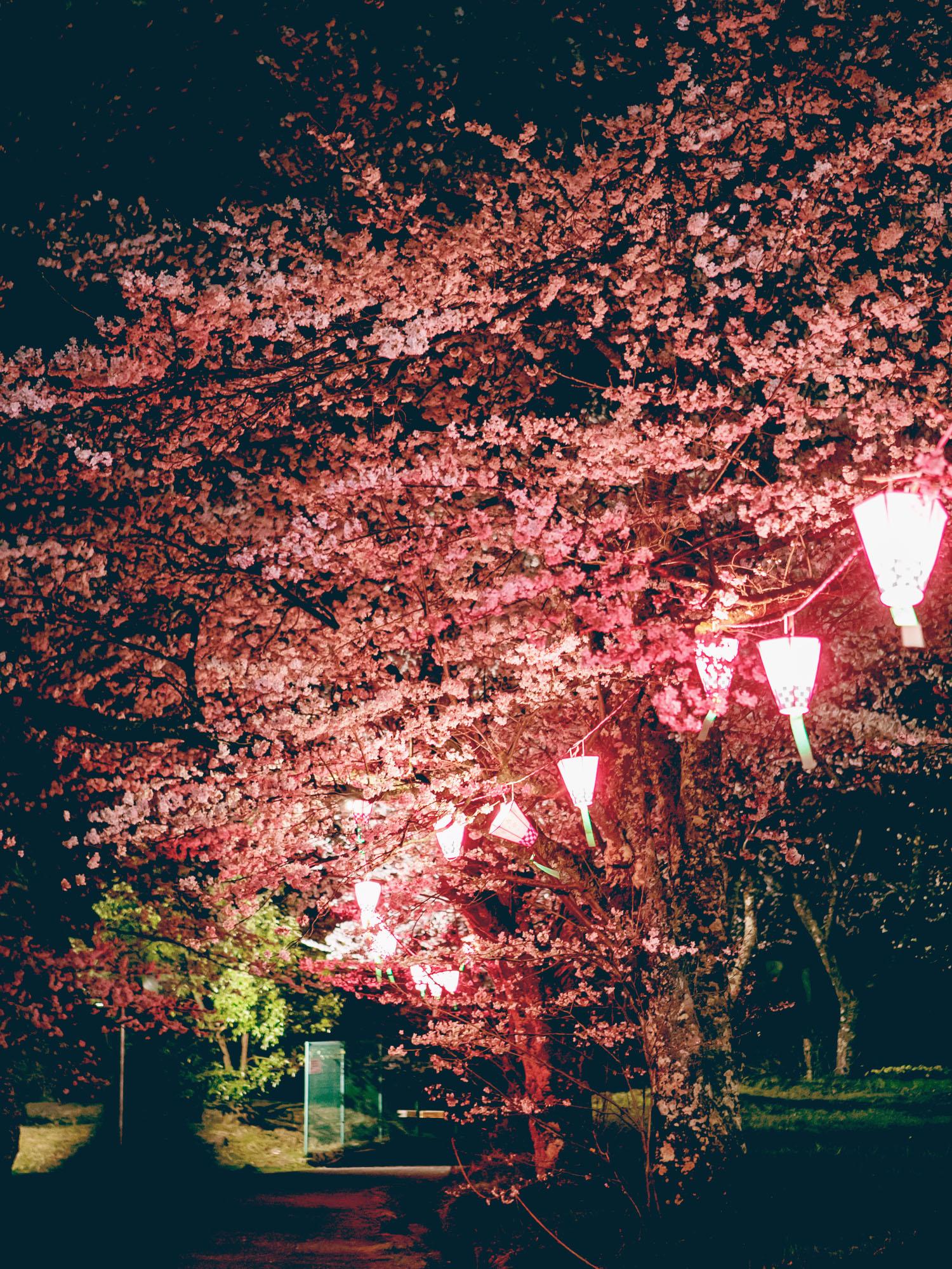 日高町の桜